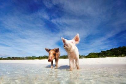 Pigs on African beach